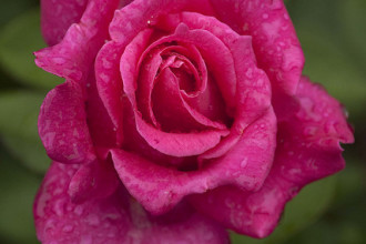 pink modern hybrid tea rose in Dog