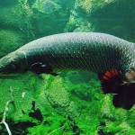 pirarucu in the Amazon river , 6 Amazon River Fish In pisces Category