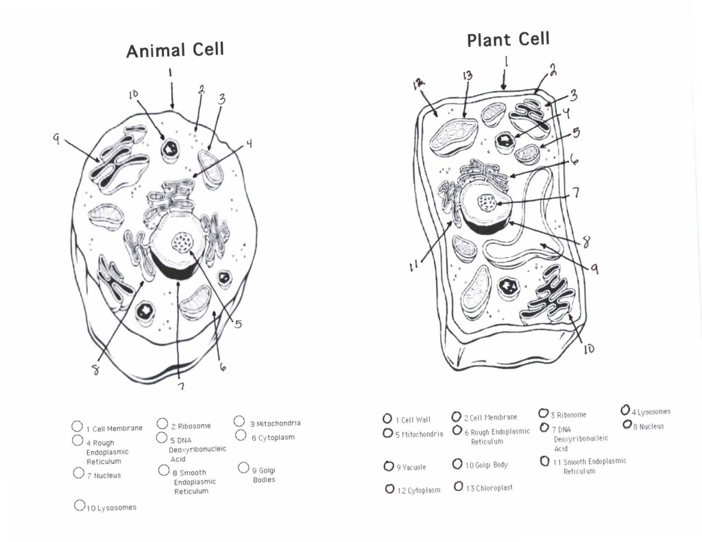 plant cell vs animal cell worksheet worksheets library 17 best images about plant and animal cells