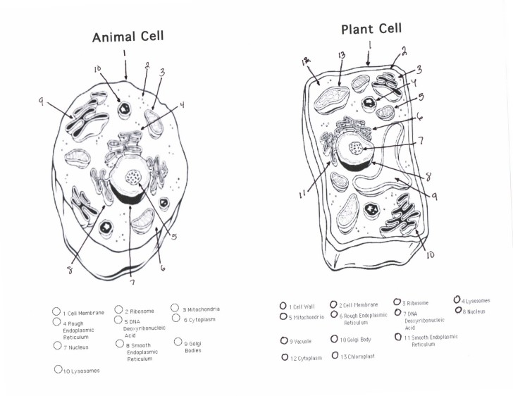 Plant And Animal Cells Diagram Quiz 6 Animal And Plant Cell Quiz