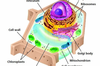 Plant Vs Animal Cells For Kids Structure , 5 Plant And Animal Cells Picture For Kids In Cell Category