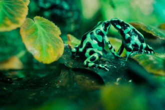 Poison Dart Frogs Animal , 5 Poison Arrow Frog Rainforest Animals In Amphibia Category