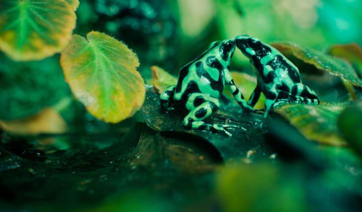 Amphibia , 5 Poison Arrow Frog Rainforest Animals : Poison Dart Frogs Animal