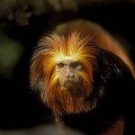 primates monkey rain forest tropical , 7 Pictures Of Tropical Rainforest Primates In Primates Category