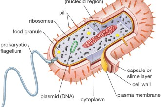 Prokaryotic Cell Diagram , 7 Prokaryotic Cell Pictures In Cell Category