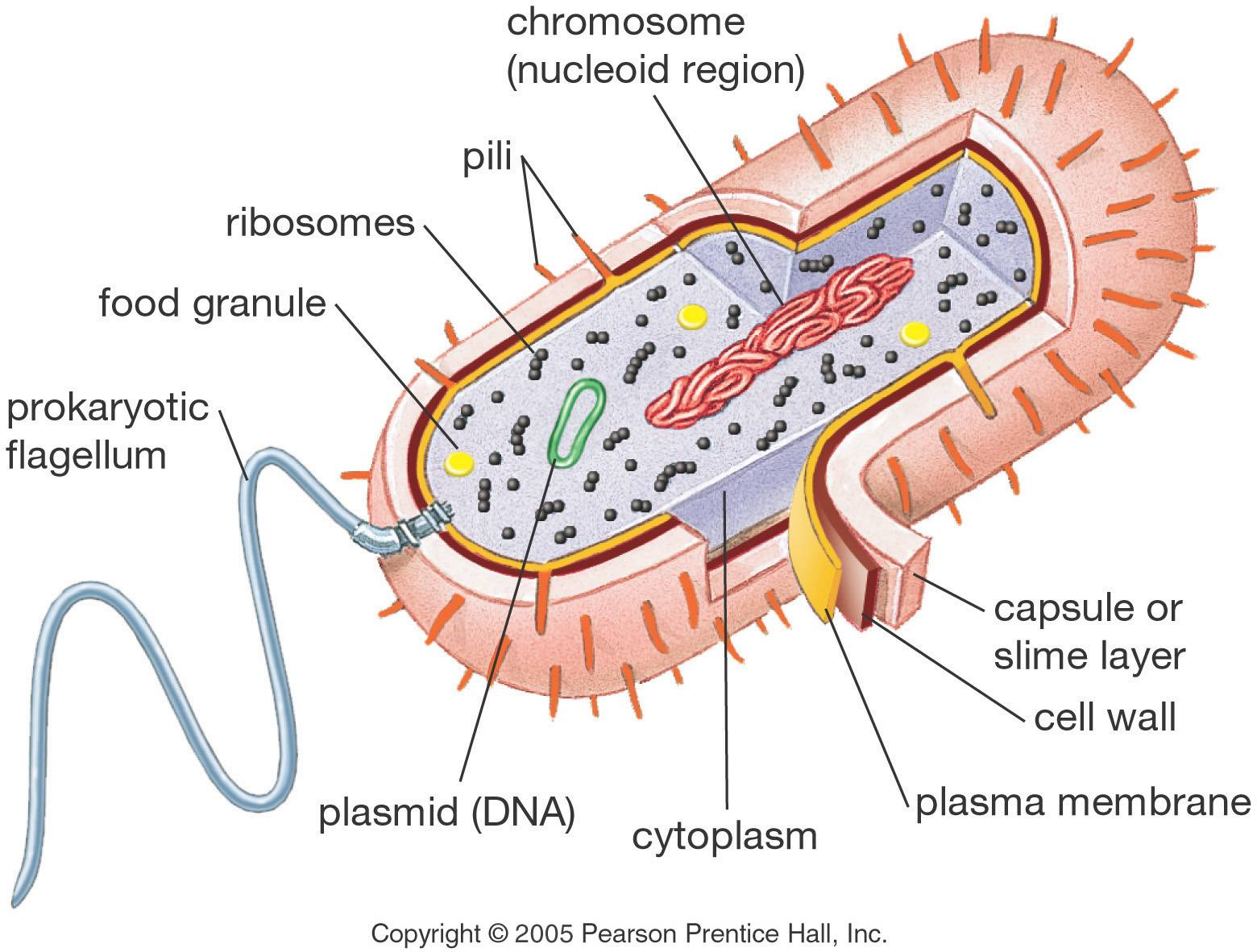 Prokaryotic cell diagram 7 prokaryotic cell pictures biological cell 7 prokaryotic cell pictures prokaryotic cell diagram ccuart Images