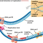 prokaryotic dna replication animation , 4 Dna Replication Animation In Cell Category