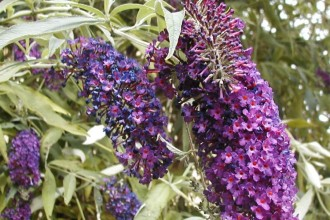 Purple Flowering Bush , 6 Empire Blue Butterfly Bush Pictures In Plants Category
