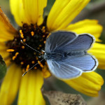 rare blue butterfly took flight on a wind-swept , 5 Palos Verdes Blue Butterfly Species In Butterfly Category