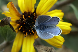 Rare Blue Butterfly Took Flight On A Wind Swept , 5 Palos Verdes Blue Butterfly Species In Butterfly Category
