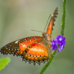 red lacewing butterfly , 6 Red Lacewing Butterfly Photos In Butterfly Category