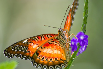 red lacewing butterfly in Dog