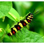 red lacewing caterpillar , 3 Red Lacewing Caterpillar Pictures In Butterfly Category