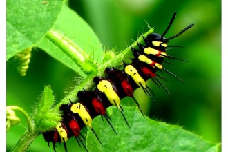 red lacewing caterpillar in Muscles