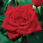 red modern hybrid tea rose , 7 Modern Hybrid Tea Roses Photos In Plants Category