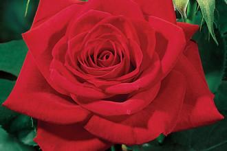 Red Modern Hybrid Tea Rose , 7 Modern Hybrid Tea Roses Photos In Plants Category