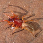 red spiders , 6 Pictures Of Red And Brown Spider In Spider Category