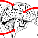 reptilian part of the brain pic 1 , 4 Reptilian Part Of The Brain Pictures In Brain Category