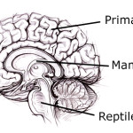reptilian part of the brain pic 2 , 4 Reptilian Part Of The Brain Pictures In Brain Category