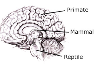 reptilian part of the brain pic 2 in Birds