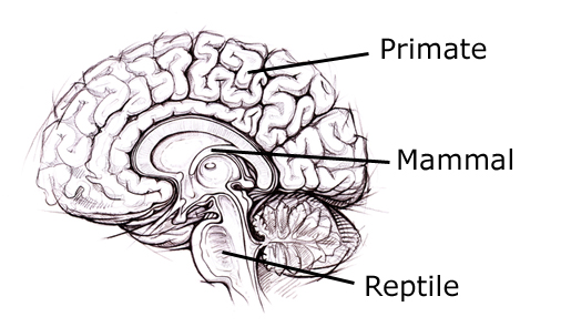 Brain , 4 Reptilian Part Of The Brain Pictures : Reptilian Part Of The Brain Pic 2