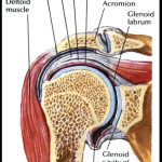 rotator cuff anatomy muscle , 5 Rotator Cuff Anatomy Muscles In Muscles Category