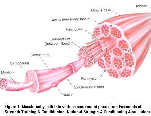 Muscles , 5 Skeletal Muscle Tonus : Sarcoplasm