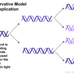 semiconservative model of DNA replication picture , 6 Dna Semi Conservative Replication Animation In Cell Category