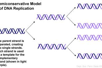 semiconservative model of DNA replication picture in Genetics