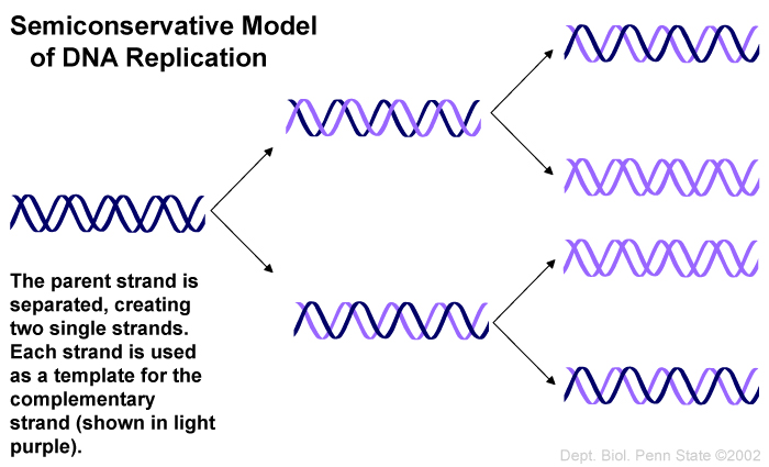 semiconservative model of DNA replication picture