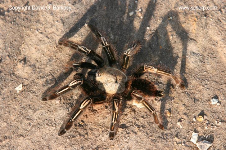 Spider , 7 Tarantula Spider Images : Skeleton Leg Tarantula