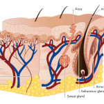 skin on different parts , 7 Skin Structure Anatomy Diagrams In Cell Category