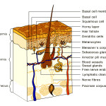 skin structure , 7 Skin Structure Anatomy Diagrams In Cell Category