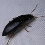 small beetles , 6 Small Black Beetle Like Bug In Beetles Category