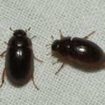 small black beetle , 6 Small Black Beetle Like Bug In Beetles Category
