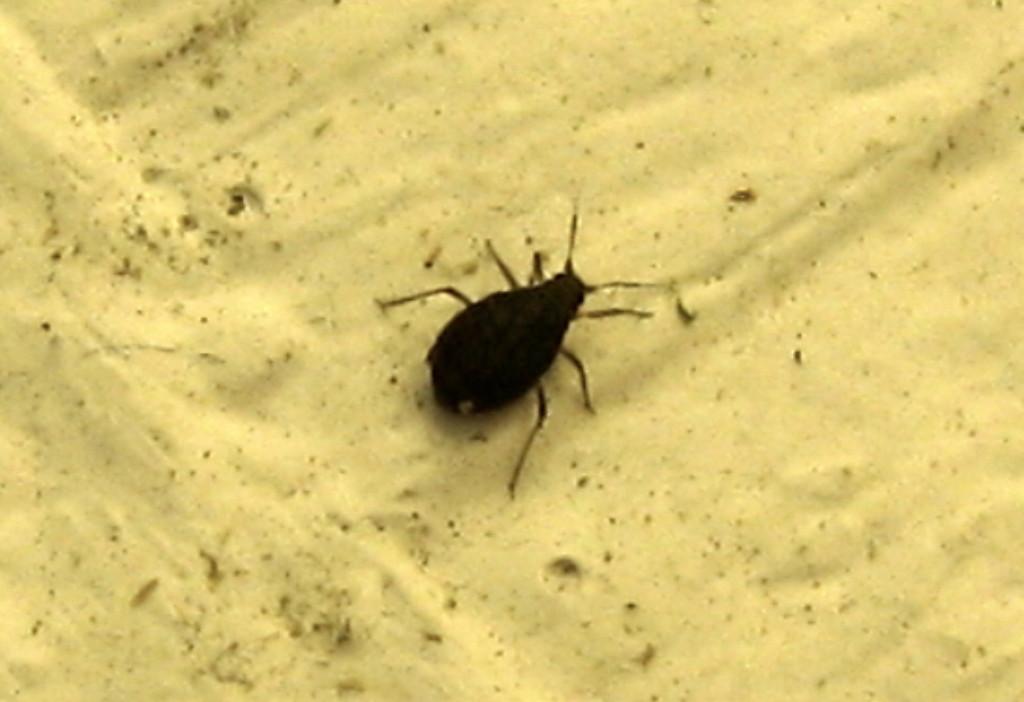 how to get rid of black beetles