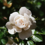 snow covr Modern roses , 7 Modern Roses Names In Plants Category