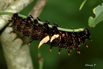 southern birdwing butterfly caterpillar in Spider