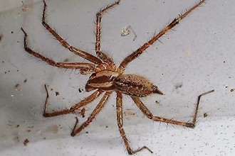Spider Brown , 10 Brown House Spider In Spider Category