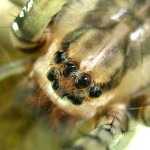 spider eyes pic 1 , 9 Spider Eyes Pistures In Spider Category