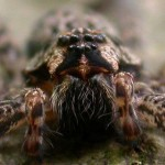 spider eyes pic 6 , 9 Spider Eyes Pistures In Spider Category