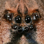 spider eyes pic 7 , 9 Spider Eyes Pistures In Spider Category