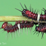 stadia larva of red lacewing , 3 Red Lacewing Caterpillar Pictures In Butterfly Category