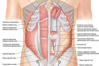 Stomach Muscles Diagram , 4 Abdominal Muscle Anatomy Diagram In Muscles Category