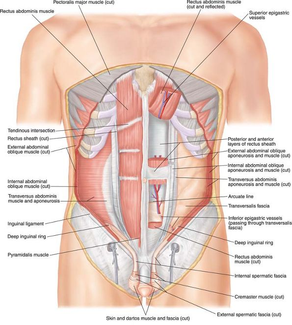 Lower abdominal muscles anatomy