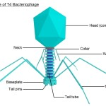 structure of viruses , 5 Viruses Dna Structure In Microbes Category