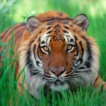 sumatera rainforest tiger , 6 Pictures Of Tiger Rainforest In Mammalia Category
