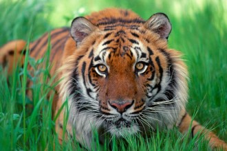 sumatera rainforest tiger in Scientific data
