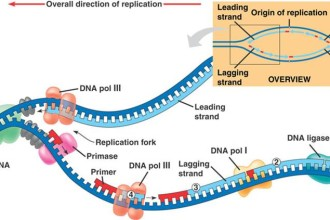 Summary Of Dna Replication , 5 Outline Of Dna Replication In Cell Category