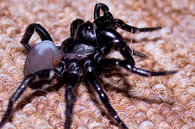 Spider , 6 Sydney Funnel-web Spiders : Sydney Funnel Web Spider Facts